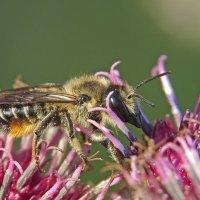 Пчелка на репейнике :: Александр Смирнов