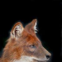 Красный волк :: Елена Богос