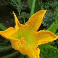 Взгляд в цветок кабачка. :: Михаил Попов