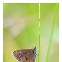 макро бабочка :: Вера Ульянова