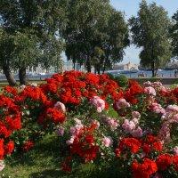 Как хороши, как свежи  были  розы!!!!! :: Валентина Папилова