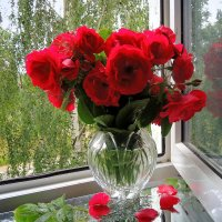 Розы на моем окне :: Павлова Татьяна Павлова