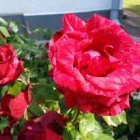 Роза :: BoxerMak Mak