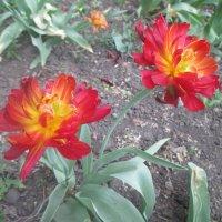 Тюльпаны. :: Андрей Балабуха