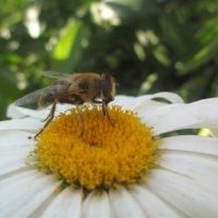 Пчелка и ромашка... :: Андрей Балабуха