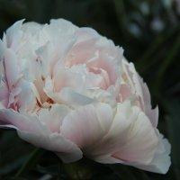 Пион в цвету. :: Андрей