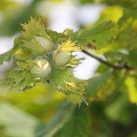 Три орешка для Золушки.... :: Tatiana Markova