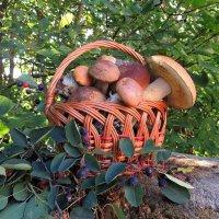 Сегодняшний лесной урожай :: Павлова Татьяна Павлова