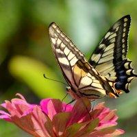 Просто аэробус А380 среди наших бабочек! :: NICKIII Михаил Г.