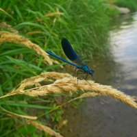 Речная стрекоза... :: Андрей Балабуха