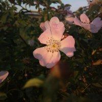 Цветок в лучах закатного солнца :: Николай Филоненко