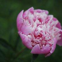 Красивейший из цветов - пион :: Lana Dob