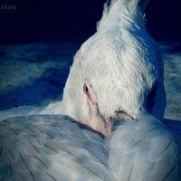 Пеликан :: Lady Etoile
