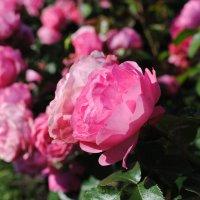 Розовое поле :: Семья Фоменковых