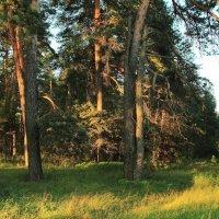 Есть в мудрости стареющих деревьев... :: Лесо-Вед (Баранов)