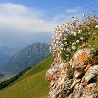 цветы высокогорья :: Анатолий Стрельченко