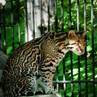 Виверровая кошка :: Lady Etoile