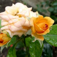 Июль,розы после дождя... :: Тамара (st.tamara)