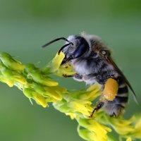 Серая  пчела :: Геннадий С.
