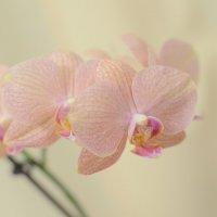 Орхидея :: Анна Емашева