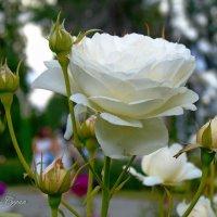 Белая роза :: Наталья (Nata-Cygan) Цыганова