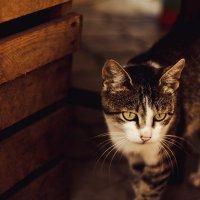дворовый кот :: Виктория Чуб