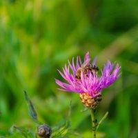 Пчелка :: Александр