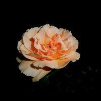 роза  чайная.. :: неля  тулузова