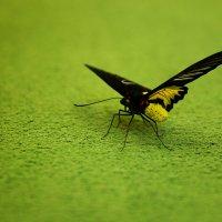 Бабочка :: Елена Рябчевская