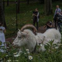 Коза в бекстейдже :: Dima Rann