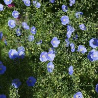 Лён, голубой цветочек :: Елена Павлова (Смолова)