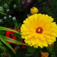Солнечный цветок. :: Антонина Гугаева