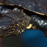 Черепаха :: Николай Knevech