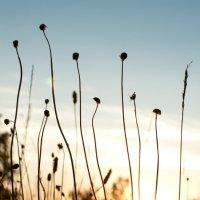 сухоцвет :: анастасия