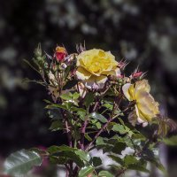 Три времени розы :: Valerii Ivanov