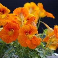 Оранжевое лето :: Елена Винник