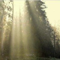 Утреннее солнце в лесу :: Галина (Stela) Кожемяченко
