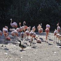 Розовые фламинго. Пражский зоопарк. :: Юрий Воронов