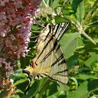 Летающий парусник или бабочка подалирий! :: Наталья