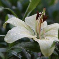 лилии в саду :: ОЛЕГ Корроль