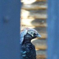 декоративная курица :: Юлия Денискина
