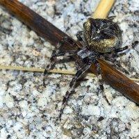 Угловатый крестовик (Araneus angulatus) :: Мария Кириллова