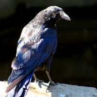 Чёрный ворон - я не твой :: Alexander Andronik