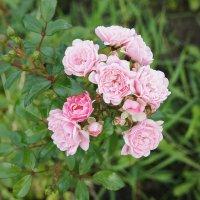 Розовые розы :: Елена Павлова (Смолова)
