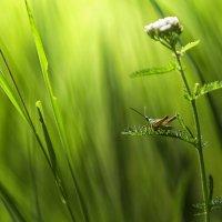 В траве сидел кузнечик... :: Photo-tur.ru