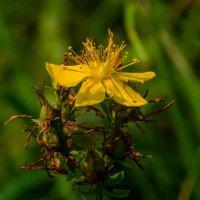 Полевые Цветы :: Андрей Воробьев