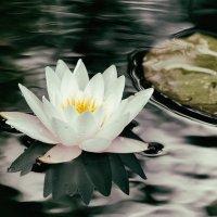 Есть в графском парке чёрный пpуд, Там лилии цветут, Там лилии цветут, цветут. :: Vladimir Zhavoronkov