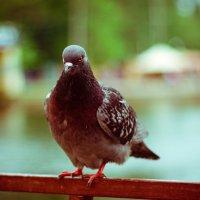 голубь :: Андрей Иванов