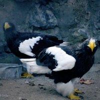 Белоплечие орланы :: Lady Etoile