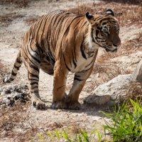 Какающий Тигр :: Михаил Даниловцев